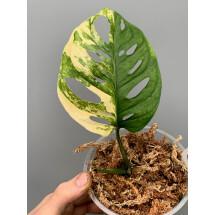 Monstera adansonii variegated aurea nr 3 (blad stek, met wortels in Sphagnum )