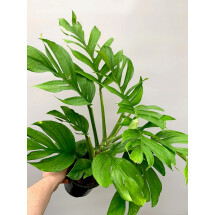 Monstera Pinnatipartita ''XXL Big Plant''