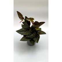 Syngonium erythrophyllum