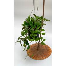 Hoya rosita