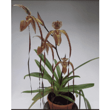 Paphiopedilum Bishop Francis Christian (Lady Isabele x Booth's Sand Lady)