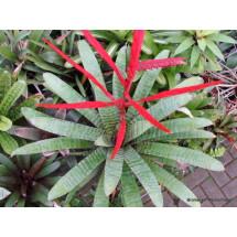 Vriesea glutinosa