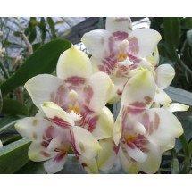 Phalaenopsis Yaphon Gelacea