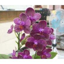 Phalaenopsis I-Hsin Spot Eagle