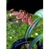 Bulbophyllum Lepidum Red