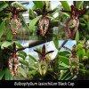 """Bulbophyllum lasiochilum """"Dark"""""""