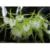 """Brassavola Little Star x Brassavola perinii """"Big Plant"""""""