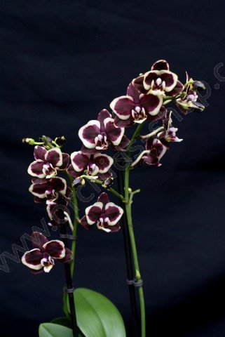 Phalaenopsis Brown Sugar 4 N