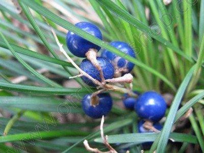 Ophiopogon japonicus var. minor