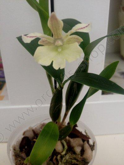 Dendrobium Nora Tokunaga x aberrans