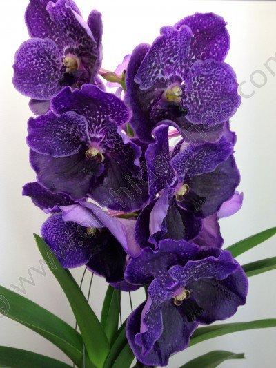 Vanda robert delight violet black