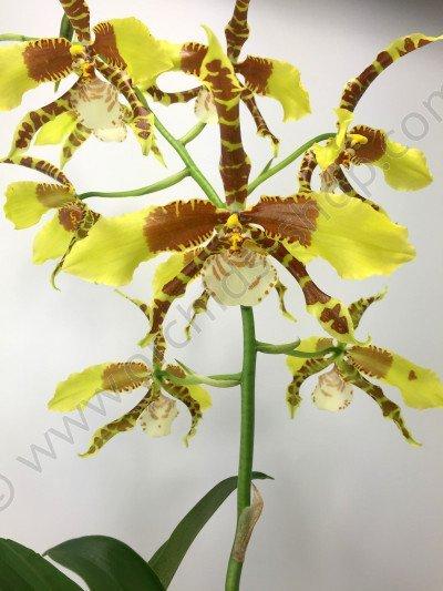 Odontoglossum Rawdon Jester 'Big'