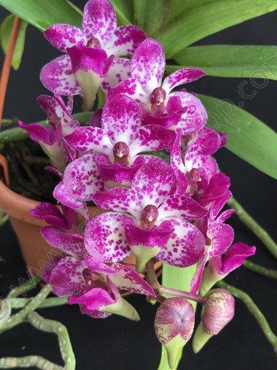 Rhynchostylis gigantea x Aerides Bangkok