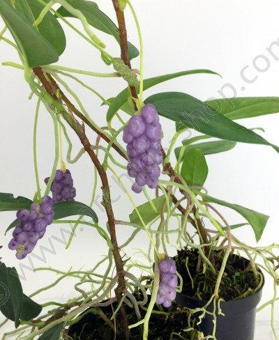 Anthurium scandens var pumila claessen orchids - Anthurium turenza ...