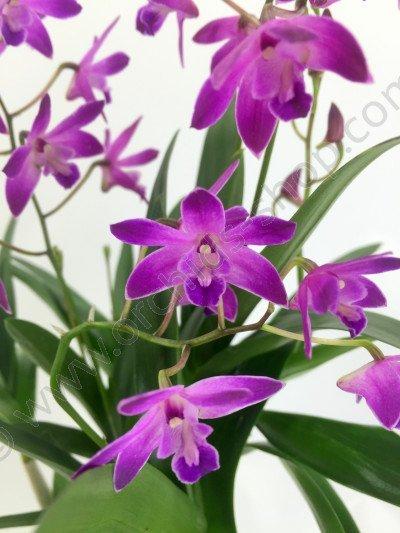 Dendrobium kingianum dark