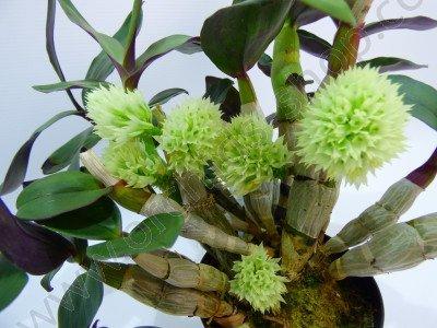 Dendrobium capituliflorum deze is een voorbeeldfoto