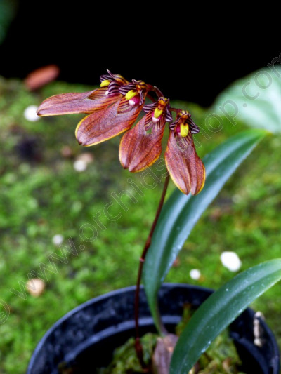 Bulbophyllum Lepidum Red