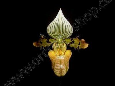 Paphiopedilum venustum