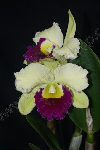 Blc. Pathum Green
