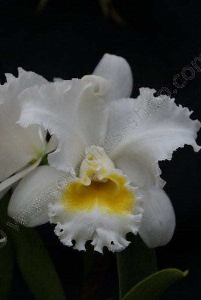 Blc. White Diamond