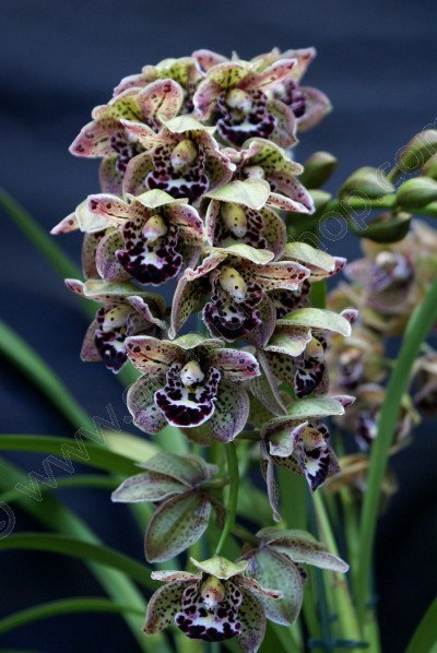 "Cymbidium Vogel`s Magic ""Small"""