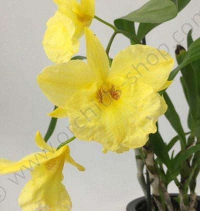 Dendrobium Golden Aya
