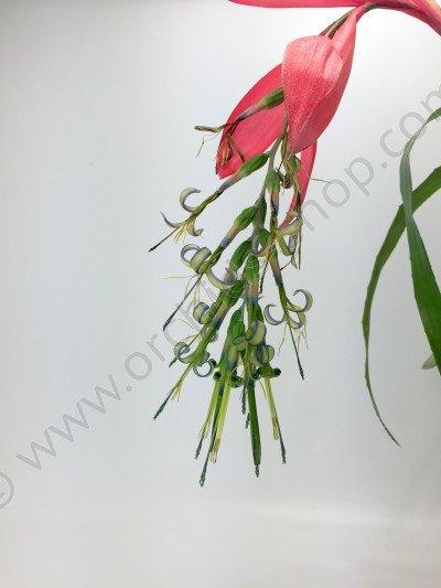 Bromelia Billbergia x windii