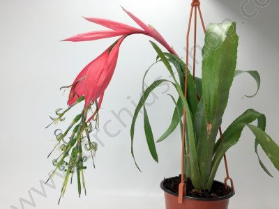 "Bromelia Billbergia x windii ""Big"""