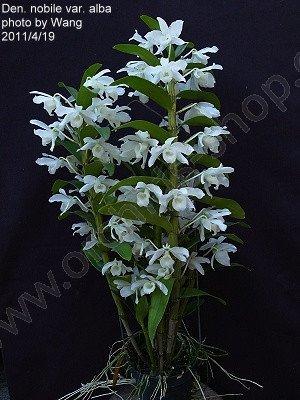 "Dendrobium nobile var. alba ""Virginalis"""