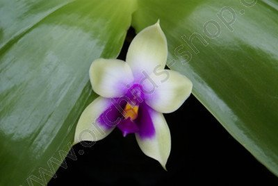 Phalaenopsis bellina `Ponkan` Big