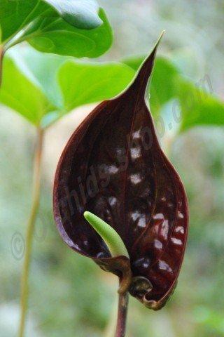 Anthurium watermaliense
