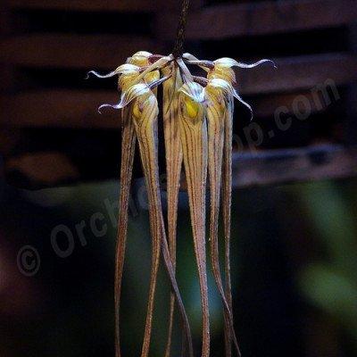Bulbophyllum longissium