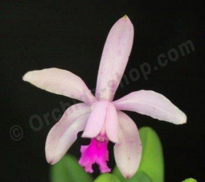 Cattleya intermedia