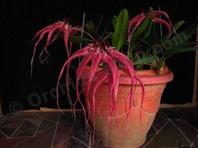 """Bulbophyllum Lovely Elizabeth """"Red Swallow"""""""