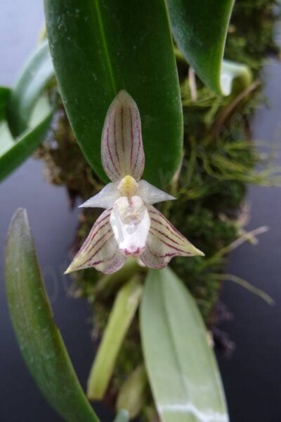 Bulbophyllum ambrosia (Big Clumb)