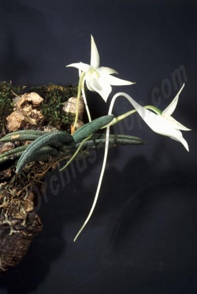 Angraecum aloifolium 'Big'
