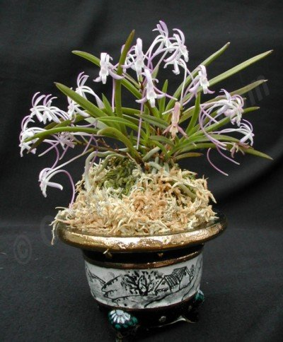 "Neofinetia falcata ""Hybrid"""