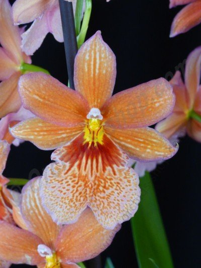 "Burrageara Nelly Isler ""Swiss Orange Beauty"""
