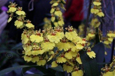 Oncidium Sweet Sugar (Harlekijnorchidee)