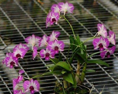 Dendrobium Enobi Stripe Pink Splash x Dendrobium Enobi Stripe Purple Splash
