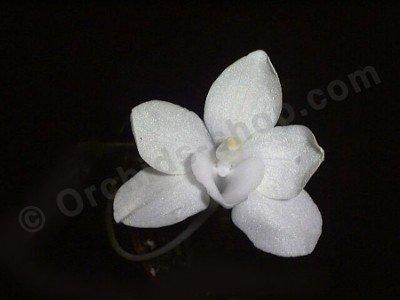 Amesiella philippiense