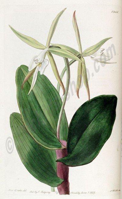 Epidendrum nocturnum