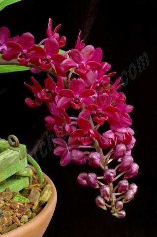 """Rhynchostylis gigantea """"Red"""""""