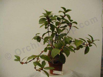 Hydnophytum mosleyanum