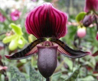 Paphiopedilum Maudiae Vinicolor