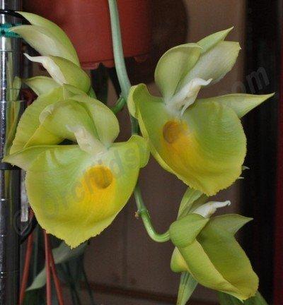 """Catasetum pileatum """"J.Green Gold"""""""
