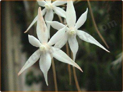 """Aerangis kirkii """"Big plant """""""