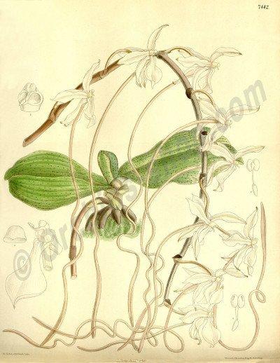 Aerangis kotschyana