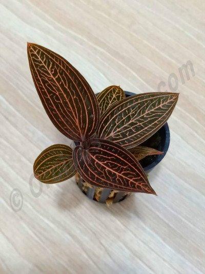 Anoectochilus roxburghii x Ludisia discolor (Ludisia Spiderman)