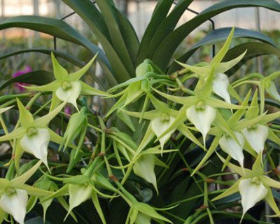 "Angraecum Crestwood ""Tomorrow Star''"